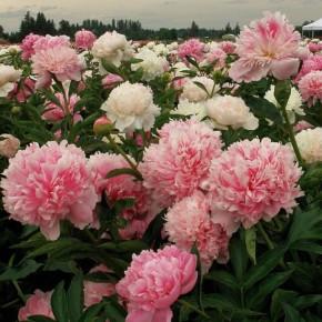 Выращивание пионов:советы по размножению,посадке и пересадке