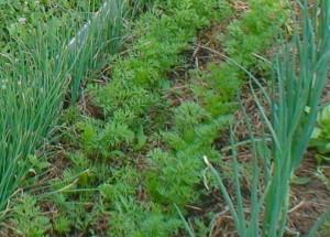 Настурция , календула и бархатцы защитят огород от вредителей