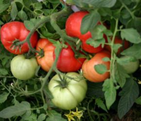 Помидоры в теплице:секреты хорошего урожая
