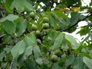 Как бороться с яблоневой плодожерко