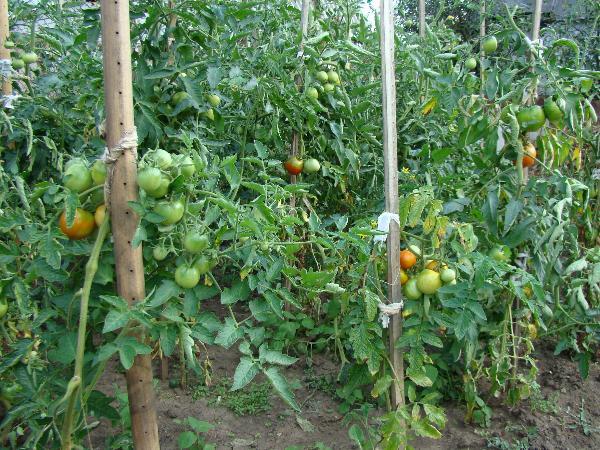 В парники, утепленный грунт, насыпные емкости проросшие семена. томаты.  Раннеспелые.