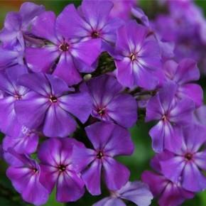 Как сажать флоксы:советы цветовода