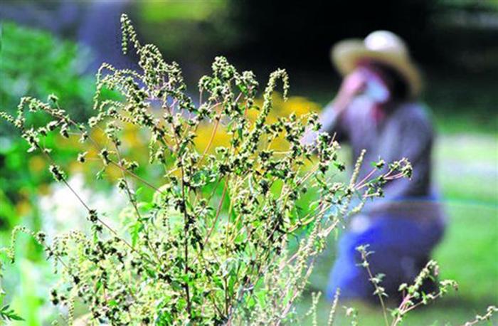Как отличить молодые растения амброзии от бархатцев