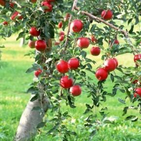 Яблони на участке:как избавиться от периодичности плодоношения