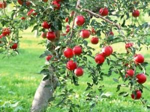 Яблони на участке