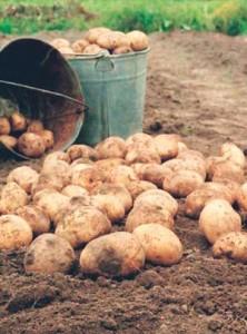 убирать картофель