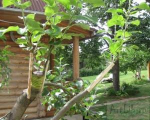 Новые сорта яблонь