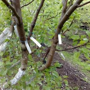 Прививка плодовых деревьев  способом в расщеп