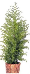 Особенности выращивания кипариса в комнате