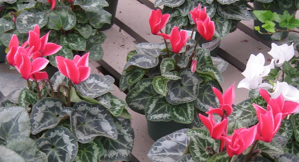 Цветок пуансеттия и цикламен