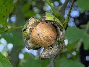 Нормы внесения минеральных удобрений в ореховых садах