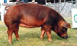 Разведение краснокожих свиней