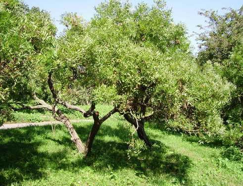 Выращивание грецкого ореха:как