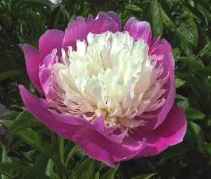 Когда удобрять пионы,ирисы,лилии