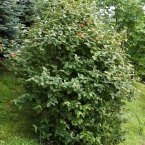 Проблемы выращивания калины:калиновый листоед