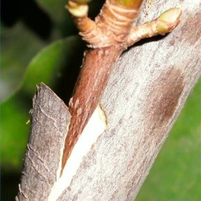 Трудно ли прививать плодовое дерево почкой?