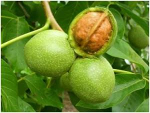 Выращивани грецкого ореха:химические препараты против вредителей