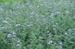 Сидераты обогатят землю органикой и основными элементами питания