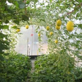 Выращивание дыни в теплице:вертикальная бахча