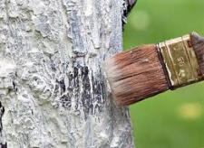 Можно ли использовать известь для побелки деревьев?