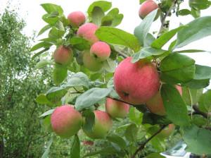 Когда проводить обрезку яблонь и груш