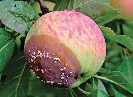 Болезни яблонь и груш : монилиальный ожог и мучнистая роса