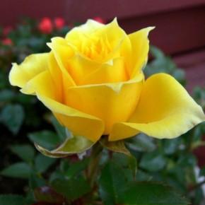 С чего начать подготовку роз к зиме?