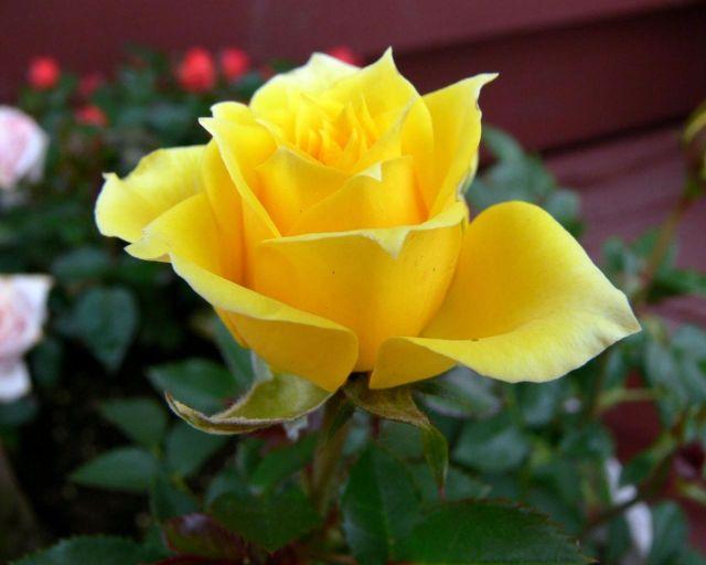 готовим розы