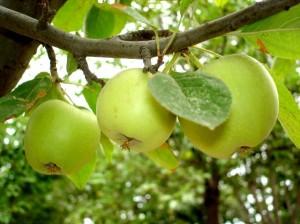 Как повысить зимостойкость фруктовых деревьев