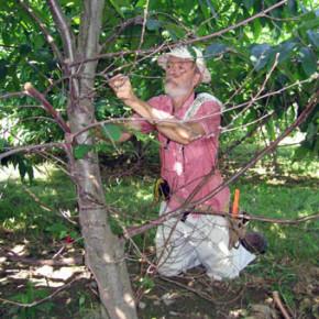 Как прививать деревья способом в ращеп?
