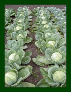 Как защитить капусту