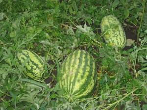 Выращивание арбузов (