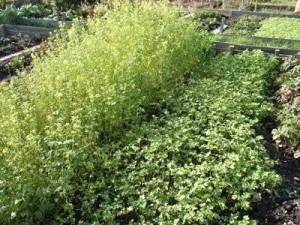 Какие сидераты сеять после уборки картофеля