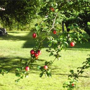 Яблоня на приусадебном участке:причины плохого плодоношения
