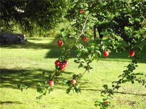 яблони