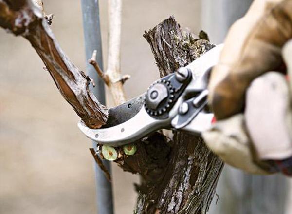 о правильной обрезке деревьев , формирование на плодоношение