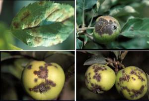 Препараты против грибковых заболеваний фруктовых деревьев