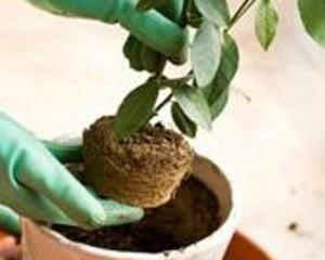 Когда удобрять комнатное растение после пересадки