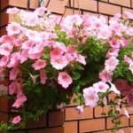 Выращивание петунии в горшках:как обеспечить влажность