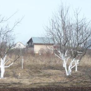 Сколько раз нужно белить плодовые деревья?