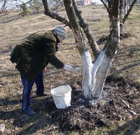 Плодовые деревья на участке:как защитить от мороза