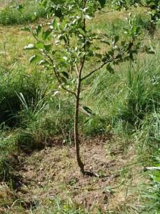 посадить плодовые деревья