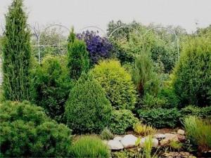 выращивании хвойных растений