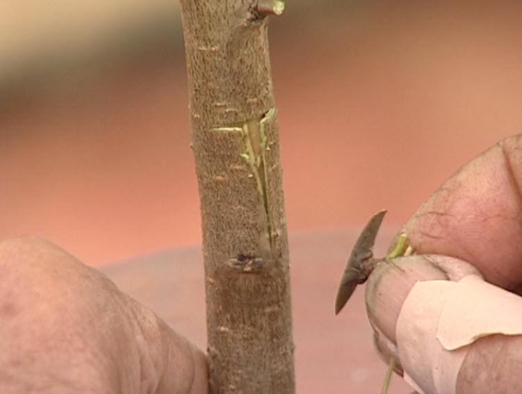 Правила прививки плодового дерева почкой