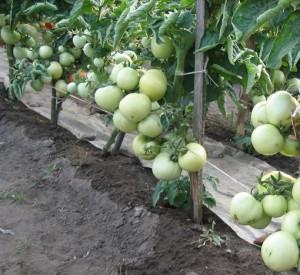 Ботва помидор против листогризущих вредителей