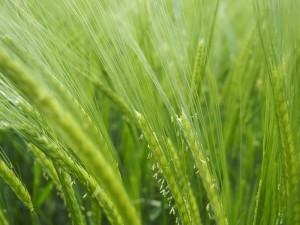 Зелёное удобрение из ржи