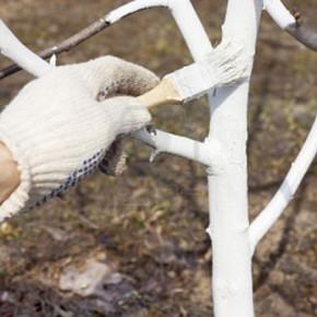 Побелка плодовых деревьев:почему нельзя белить известью