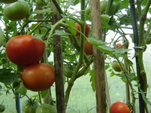 Почему растрескиваются плоды томатов