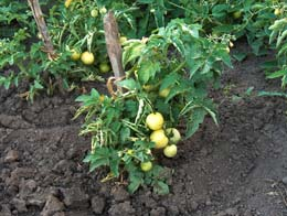 Как добиться созревания зелёных томатов