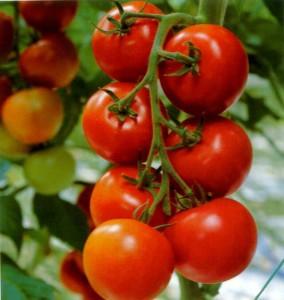 Томаты  Бабушкин секрет имеют высокую урожайность , хорошую лежкость и транспортабельность